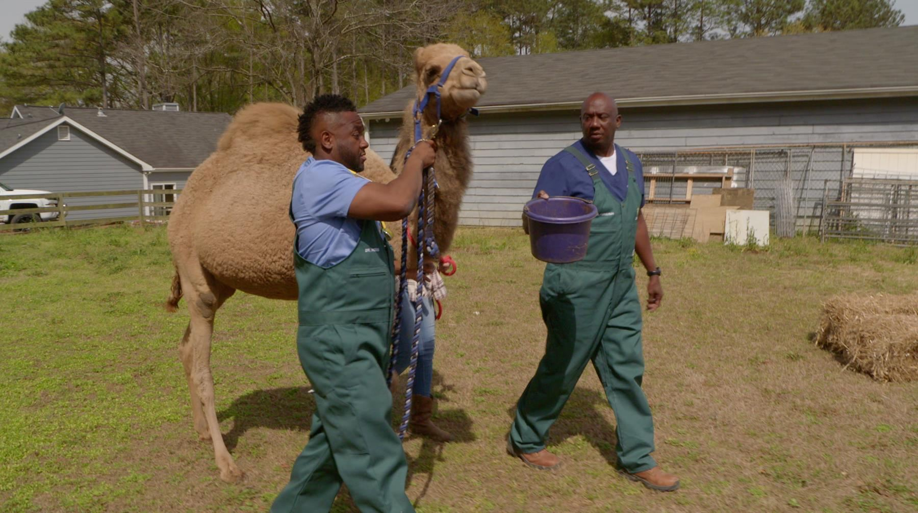 Dr. Hodges and Dr. Ferguson lead Mowgli the camel out to be castrated. (National Geographic)